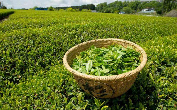 تاریخچه چای در ایران