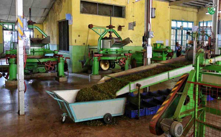 مواد خام در صنعت چای